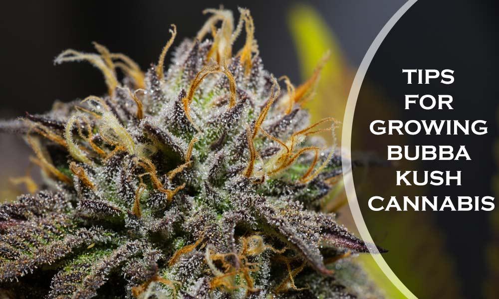 TIPS FOR GROWING BUBBA KUSH CANNABIS