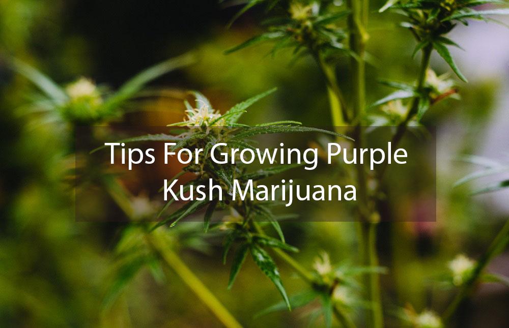 Tips For Growing Purple Kush Marijuana