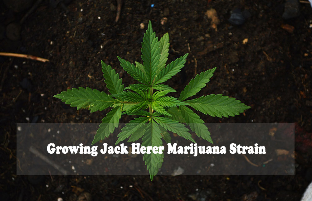 Growing Jack Herer Marijuana Strain