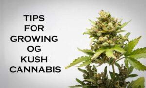 GROWING OG KUSH CANNABIS