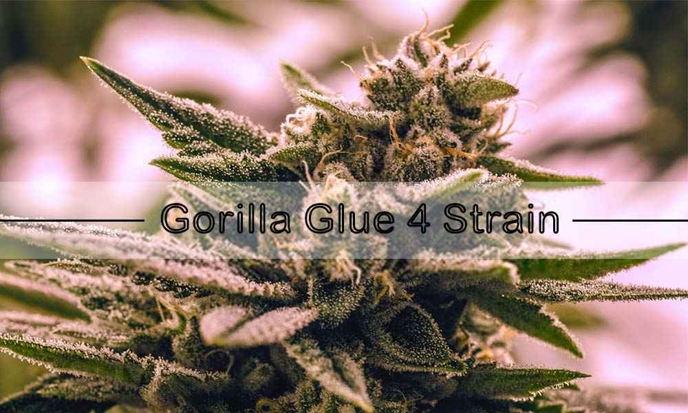 Gorilla Glue 4 Strain