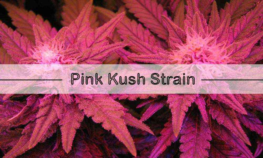 Pink Kush Review - thecbdbreak